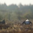 Oma Saare fotograafil Peeter Kukel õnnestus eelmise nädala lõpus pildistada tetrede elu aasta tipphetke – tedremängu.