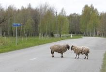 Omapäi hulkunud lambad pandi aeda