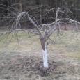 Kevadel lõigatakse viljapuid enne, kui puu hakkab elama oma aktiivset elu. Oluline on märgata puhkema hakkavaid pungi. Lõikust võiks teha ajal, mil õhutemperatuur jääb –2° ja 6 °C vahele. See […]